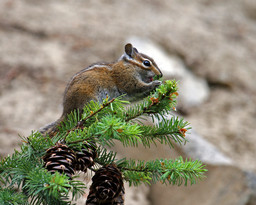 Fotosearch_k5580853ChipMunk.jpeg