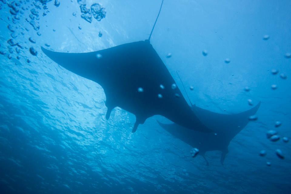 Mantas swimming overhead at Manta Point (photo courtesy of Ewan Chamings)