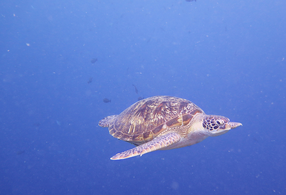 A turtle floats by