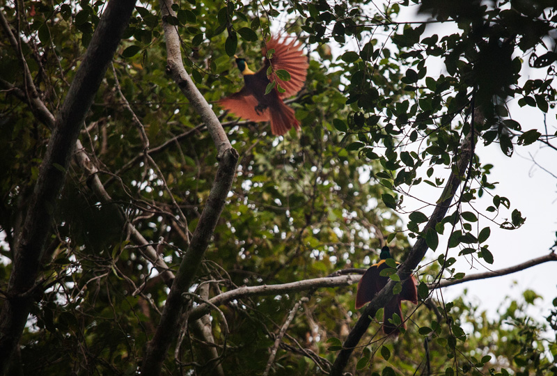 glimpse of the red bird of paradise