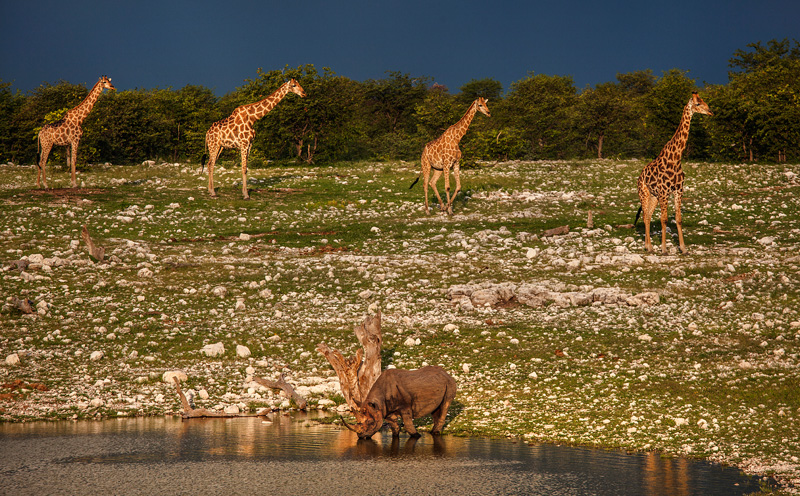 giraffes marching past a Rhino at the watering hole