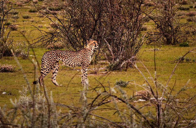 Cheetah in the distance