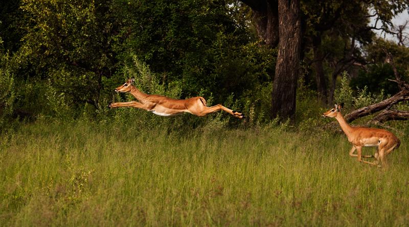 impala bounding