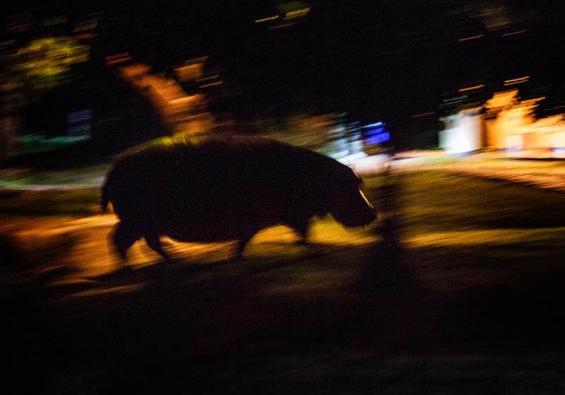 hippos wandering around camp