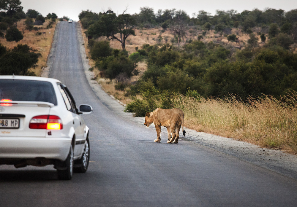 the lions don't care about cars at all, so they get up close and personal
