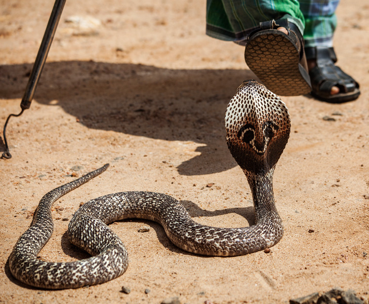 the snake guy teasing the cobra