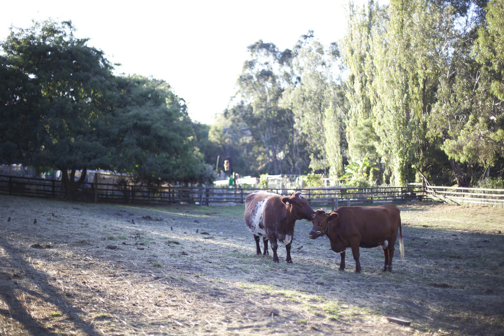 wedding melbourne farm cows.jpg