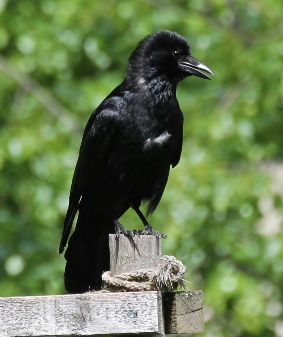 Carrion Crow (possibly not fully adult), sent in by Lonia from Switzerland