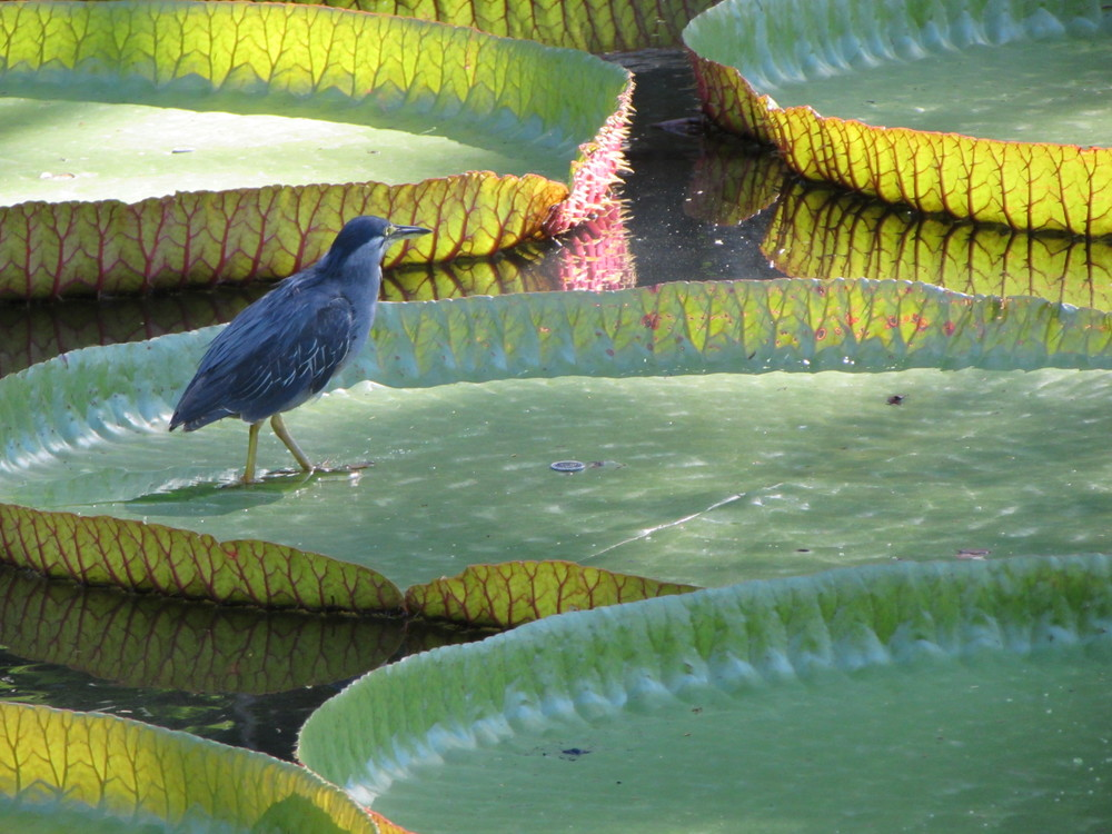 Striated Heron (possibly not fully adult), sent in by Dragan from Mauritius