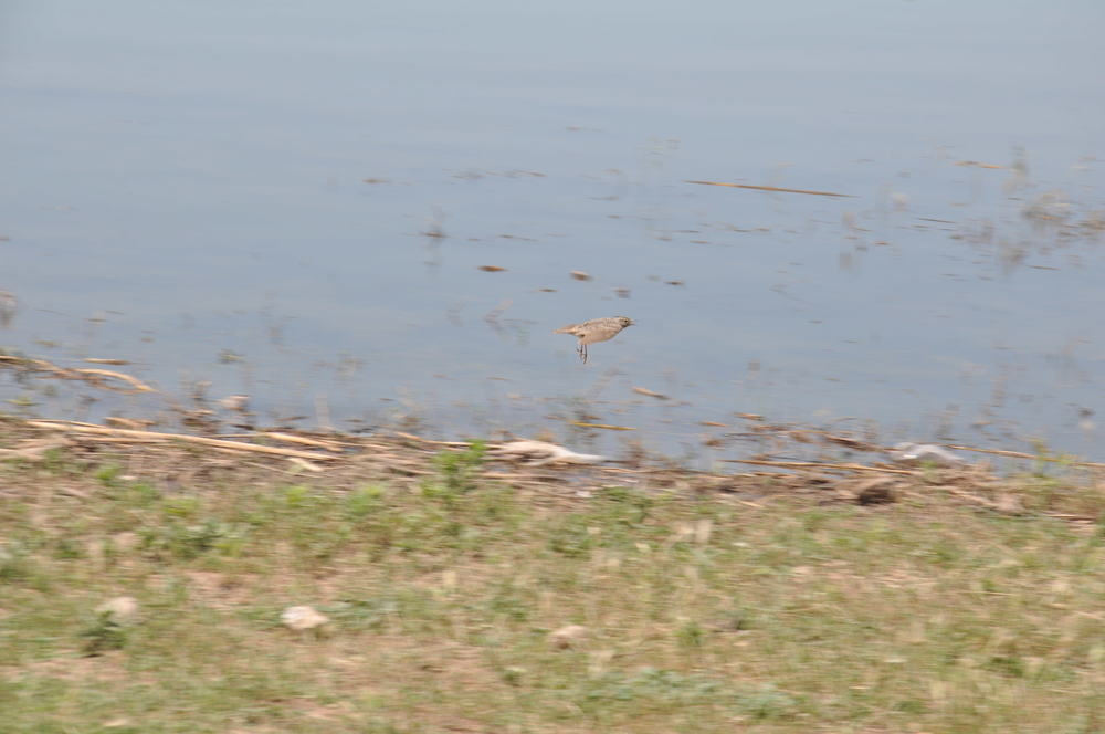 Crested Lark, sent in by Anonymous from Kyrgyzstan