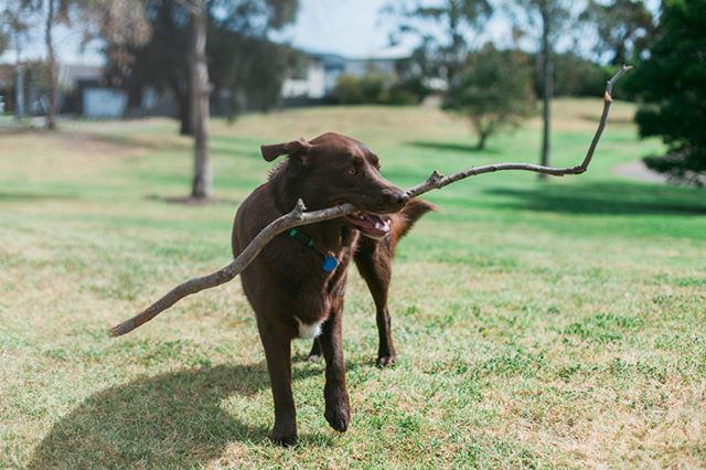"""Dog in his natural state """"lord of sticks"""" #lifestylepetphotography #furfamilyphotography #pet #portrait #petportrait #portraitphotographer #melbournephotographer #animalphotographer #petphotography #pet #doglife #lifestylephotographer #dogphotography #petphotographer"""