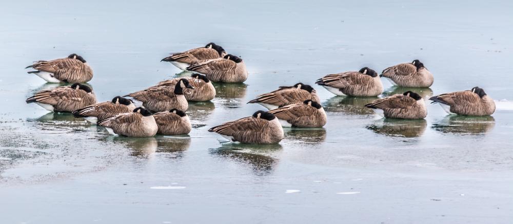 geese in wind.20131130.jpg