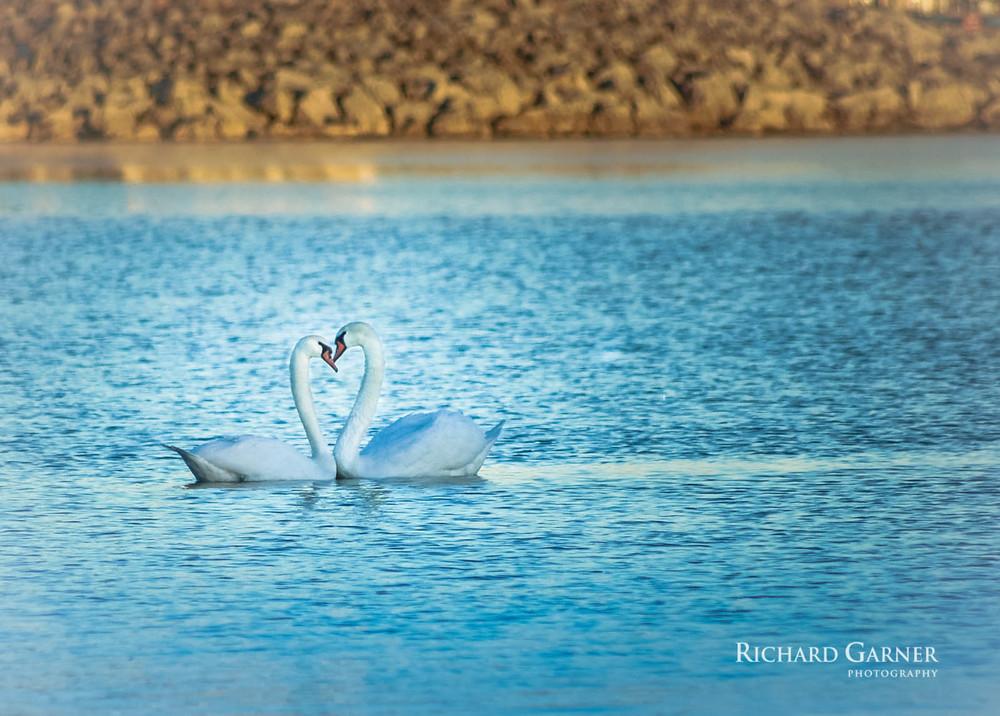 swans heart-1.jpg