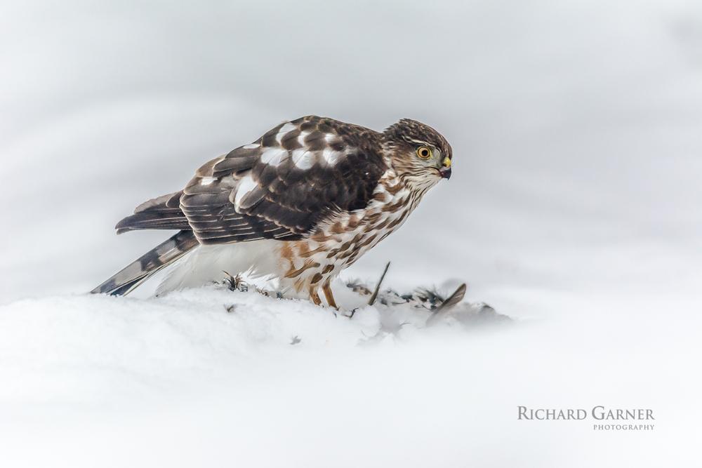 sharp-shinned hawk (1 of 1)2014-01-17.jpg