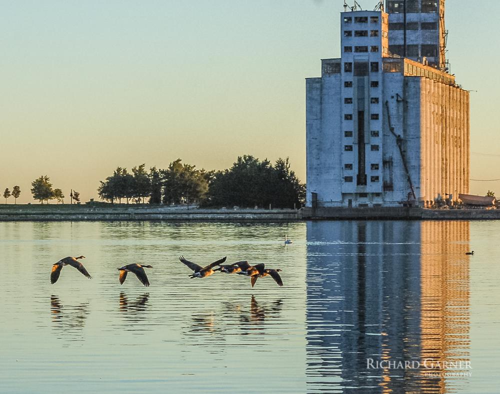 19 Canada Geese - Dawn Skimming 2