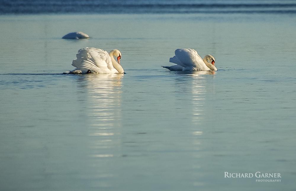 20 Swans In Morning Light