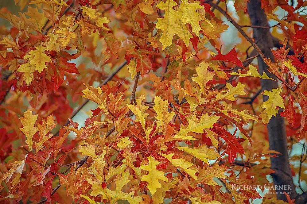 30 Autumn Oak Leaves