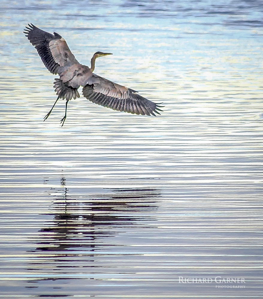 32 Great Blue Heron in Flight