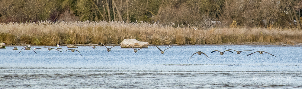 41 Canada Geese In Flight
