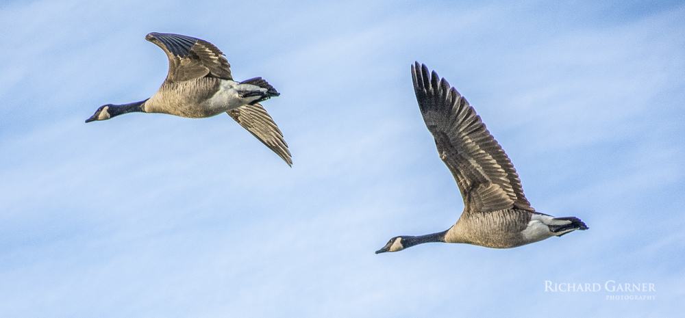 43 Canada Geese In Flight