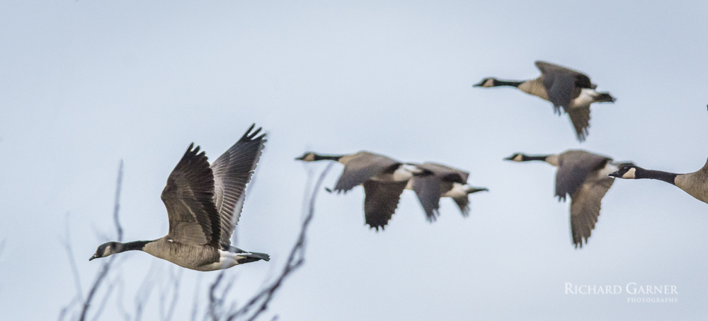 45 Canada Geese In Flight