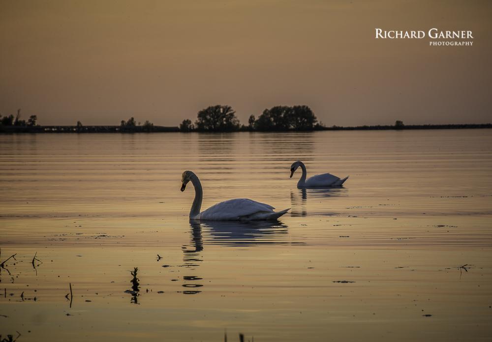 swans @ sunset-1.jpg