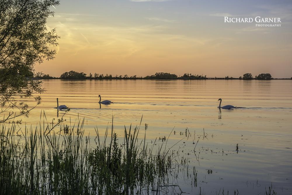 swans @ sunset-1-2.jpg