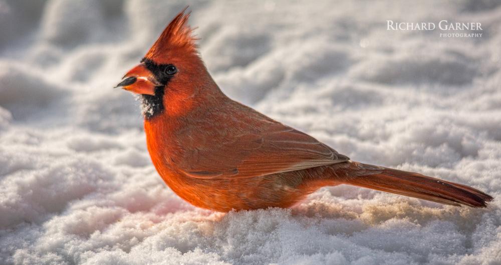Cardinal male-160119-1.jpg