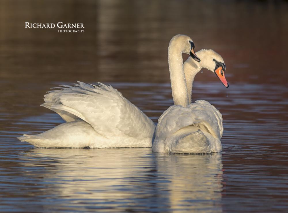 swans at dawn-1-140505-4128 x 3059.jpg