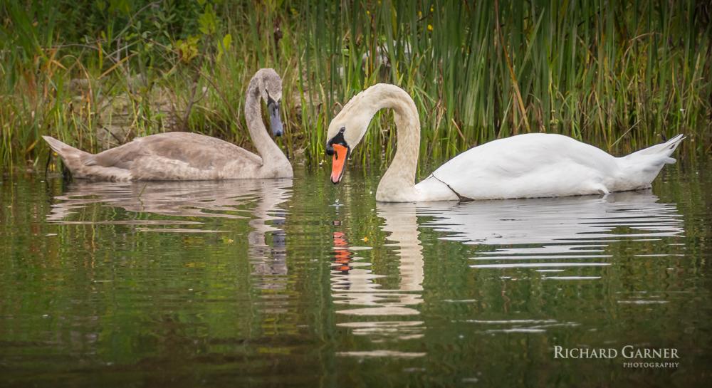 swans -1.jpg