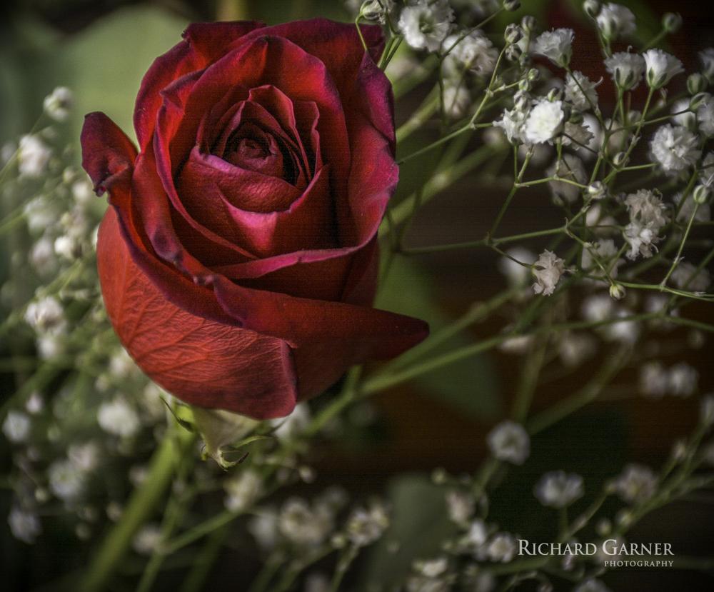 rose-1-140927.jpg