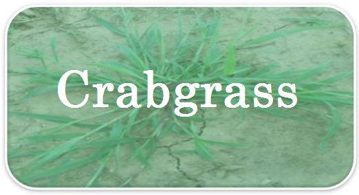 Crabgrass FAQs.jpg