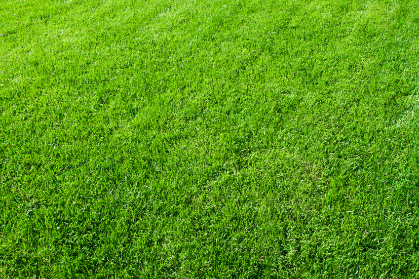 Green grass from a fertilized lawn