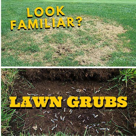 Lawn grubs.jpg
