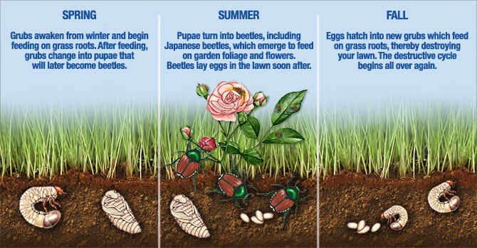 Dealing With Lawn Grubs--Article--Grub Life Cycle.jpg