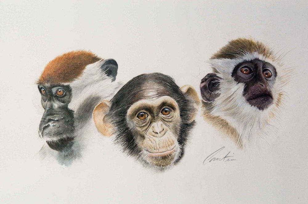 Étude de singes   Aquarelle sur papier Arches satiné  (vendu)
