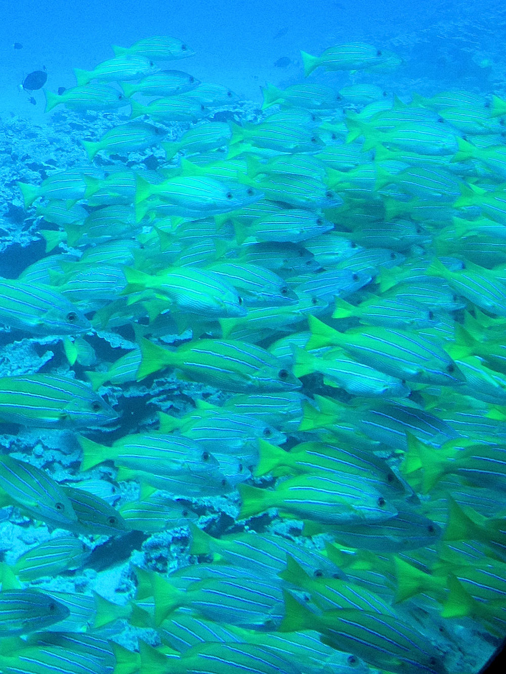 Colorful fish viewed from a submarine off the coast of Maui by Stephanie Barnard