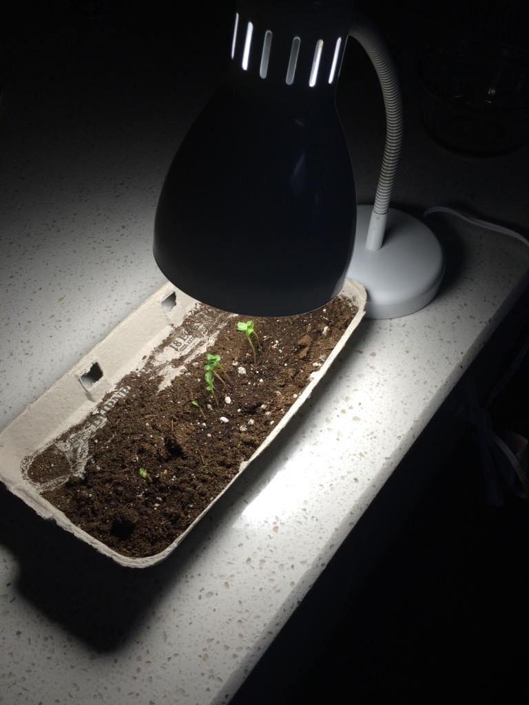 another mistake: Seeing as we don't get good sunlight in our house for me to grow things indoors, I thought I would help them along with a nice little table lamp. This was not a good idea and proved to be useless! :P