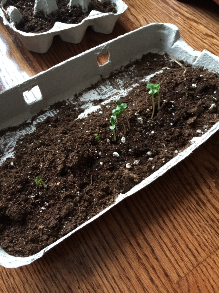 Mistake # 1: I thought it would be a clever idea to try growing radishes in recycled egg cartons. I mean you only need a few inches for radishes right? Wrong. It was an utter failure. LOL Radishes dont need that much soil, but they still need at least a good 6 inches I would say!