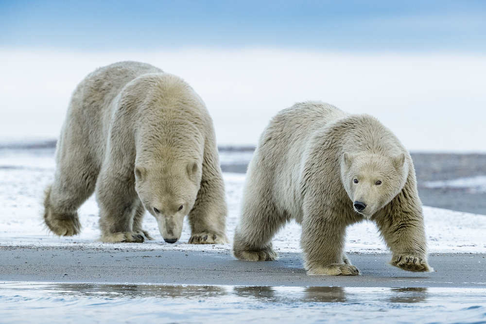 Polar-Bears-Walking-On-The-Spit.jpg