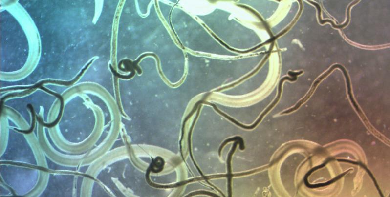 schistosomes.jpg