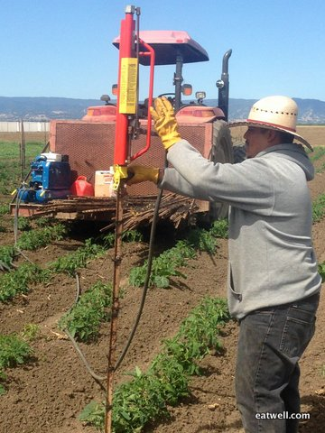 Ramon uses the pneumatic stake pounder to stake the tomato plants.