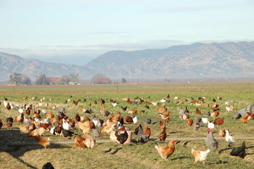 chickens.mountains.jpg