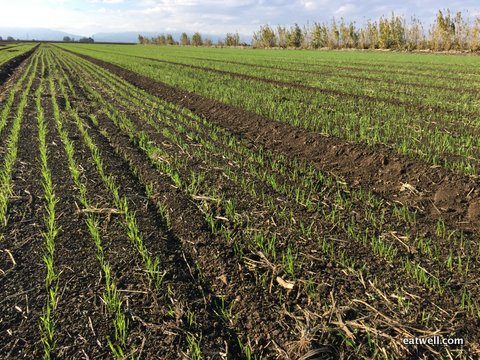 Heirloom wheat crop for 2015 germinating nicely