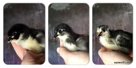 Eatwell Farm Heritage Black Austrolorp chicks at one day, one week, and two weeks old.