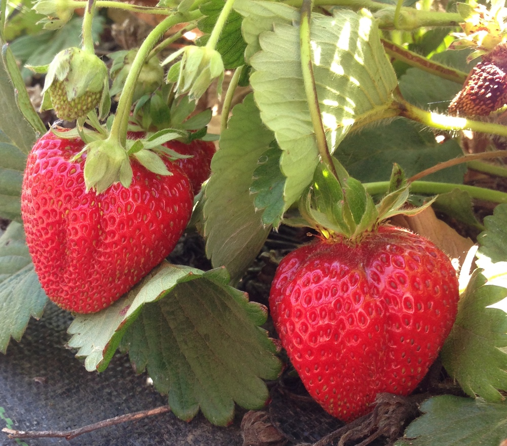 Photo of Eatwell Farm Strawberries by CSA member Sarah Schroeder