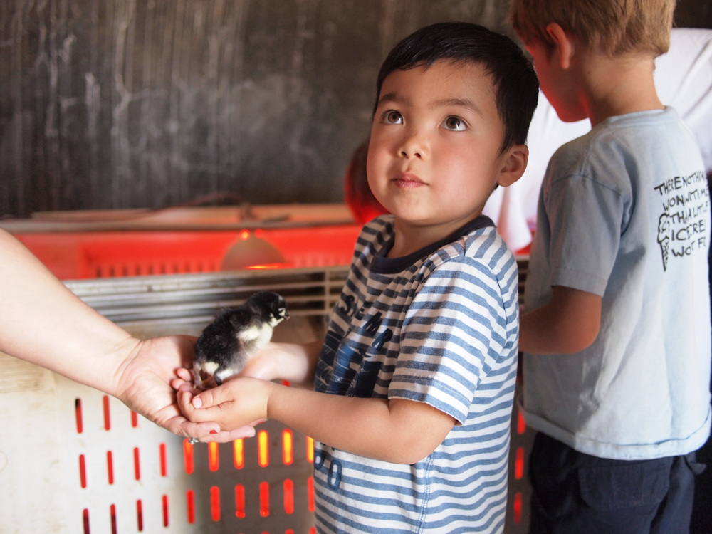 Come and visit YOUR farm. Ando Uyesugi, son of members Ginny and Matthew, holds one of our heritage chicks at a Strawberry Day. Photo credit: Matthew Uyesugi.