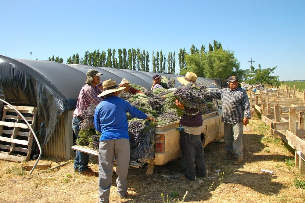 Lavender bunches are loaded into the bed of a truck and driven to the drying room where they will be hung to dry.