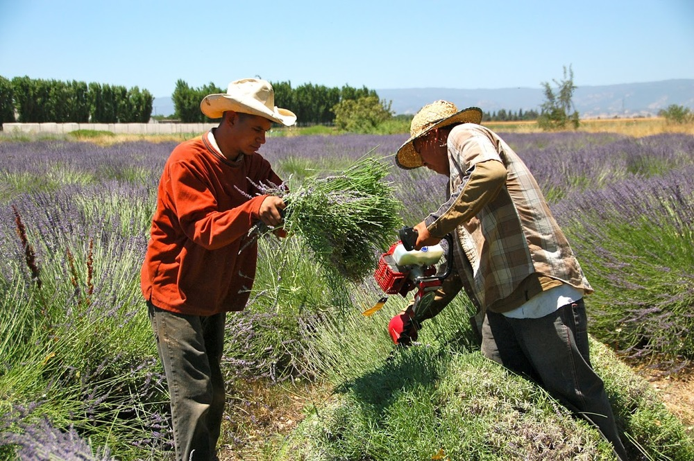 The Eatwell Farm Crew will cut the lavender with hedge trimmers. Then the Lavender Work Crew will follow behind to bunch the stems together with rubber bands for drying.