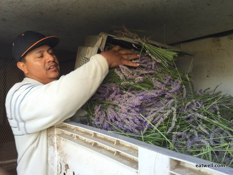 Eatwell Farm foreman, Jose, dumps freshly cut lavender stems into a bin to be transported to SonomAroma for distillation.